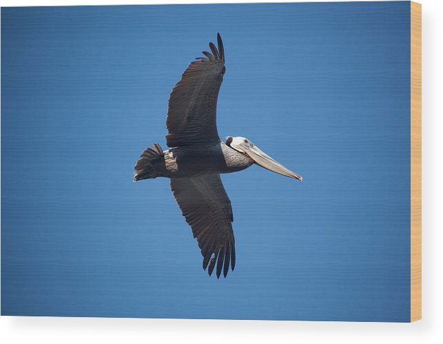 Pelican Wood Print featuring the photograph flying Pelican by Ralf Kaiser
