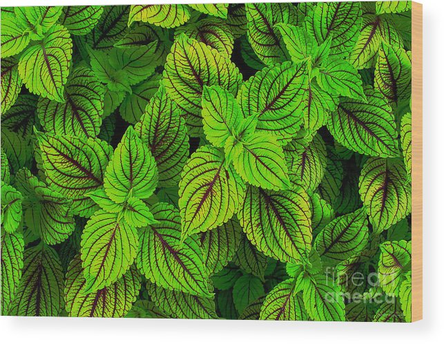 Fresh Green Coleus Garden Wood Print By Kathie Mccurdy