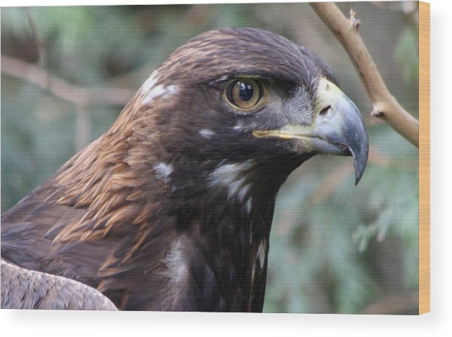 Northwest Trek Wood Print featuring the photograph Golden Eagle - 0001 by S and S Photo