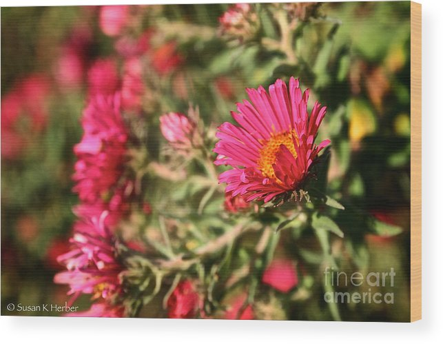 Flower Wood Print featuring the photograph Happy Aster by Susan Herber