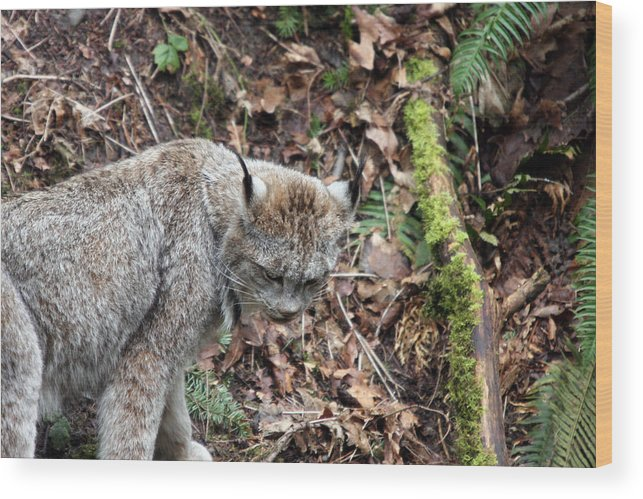 Northwest Trek Wood Print featuring the photograph Lynx - 0004 by S and S Photo