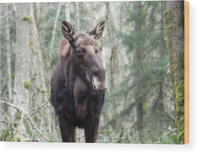 Northwest Trek Wood Print featuring the photograph Moose - 0009 by S and S Photo