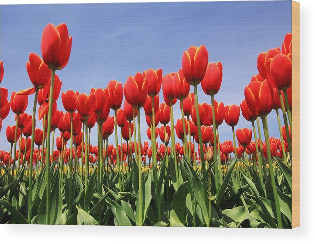 Tulips Wood Print featuring the photograph Red Tulips by Kean Poh Chua