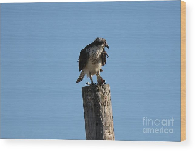 Birds Wood Print featuring the photograph The Osprey's First Catch Collection Image IV by Scenesational Photos