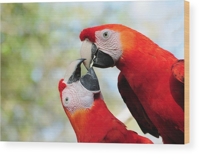 Bird Wood Print featuring the photograph Macaws by Steven Sparks