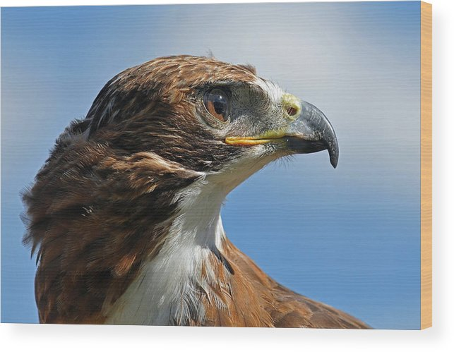 Red-tailed Hawk Wood Print featuring the photograph Red-tailed Hawk by Alan Lenk