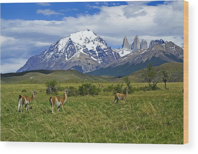 Patagonia Wood Print featuring the photograph Guanacos in Torres del Paine by Michele Burgess