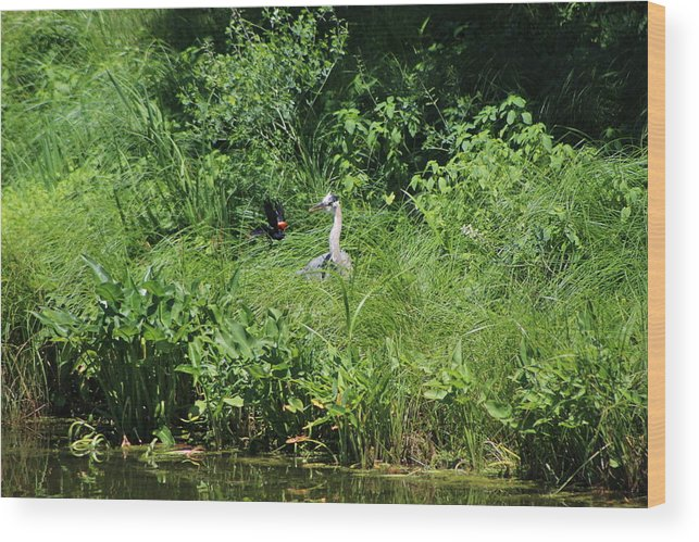 Marsh Wood Print featuring the photograph Annoyed - Heron and Red Winged Blackbird 5 of 10 by Colleen Cornelius