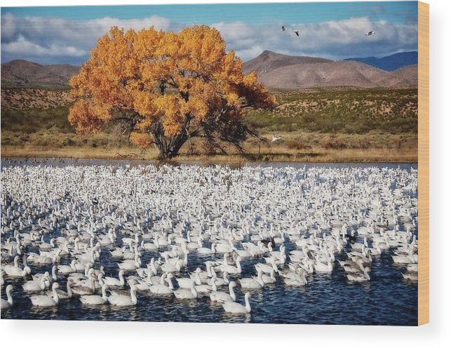 Nature Wood Print featuring the photograph Annual Snow Geese Meet-up, Bosque Del Apache, New Mexico by Zayne Diamond Photographic