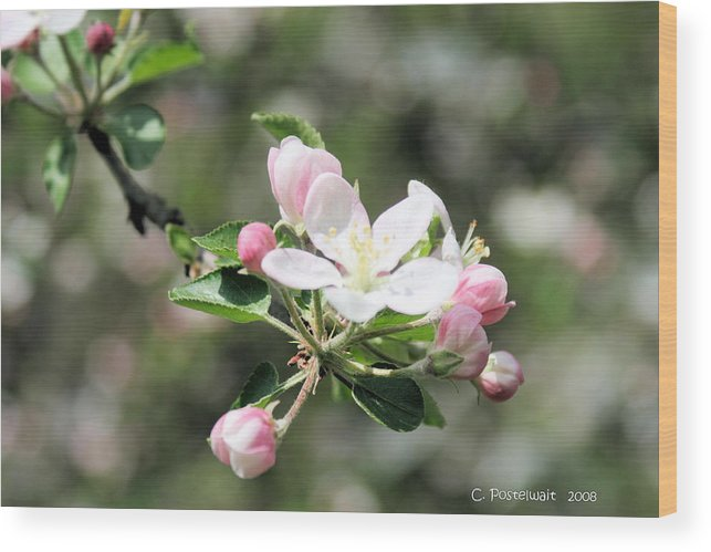 Apple Trees Wood Print featuring the photograph Apple Blossom by Carolyn Postelwait