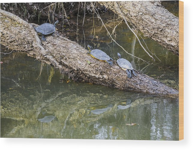 Turtles Wood Print featuring the photograph Chilling Turtles by William Hall