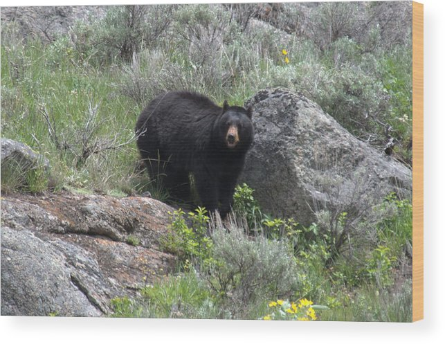 Black Bear Wood Print featuring the photograph Curious Black Bear by Frank Madia