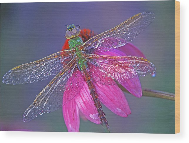 Dew Covered Dragonfly Rests On Purple Cone Flower Wood Print featuring the photograph Dreaming Dragon by Bill Morgenstern