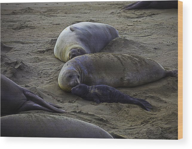 Elephant Wood Print featuring the photograph Elephant Seal Mom And Pup by Garry Gay