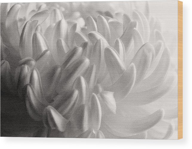 Nature Wood Print featuring the photograph Ethereal Chrysanthemum by Zayne Diamond Photographic