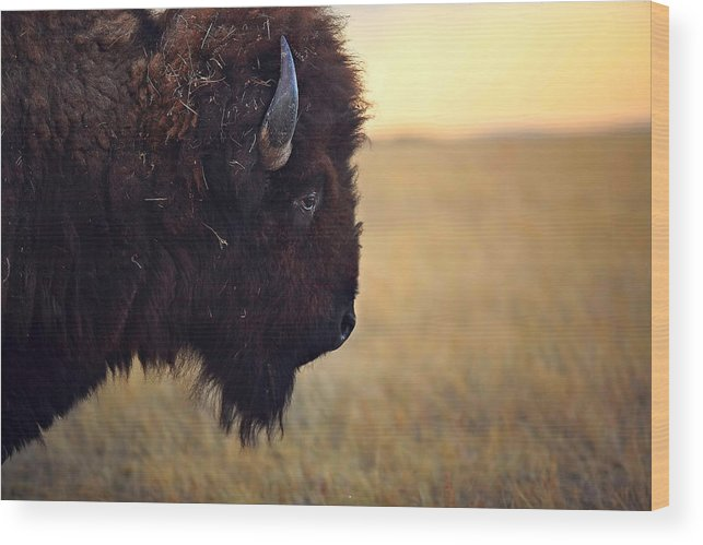 Buffalo Wood Print featuring the photograph Face The Day by Deborah Johnson