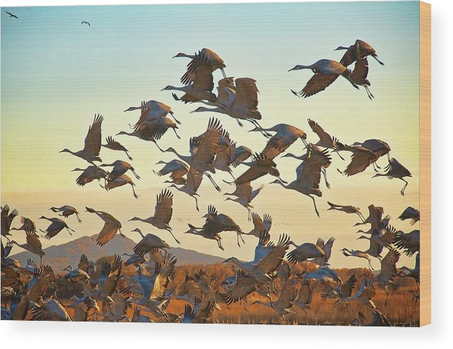 Nature Wood Print featuring the photograph Liftoff, Sandhill Cranes by Zayne Diamond Photographic