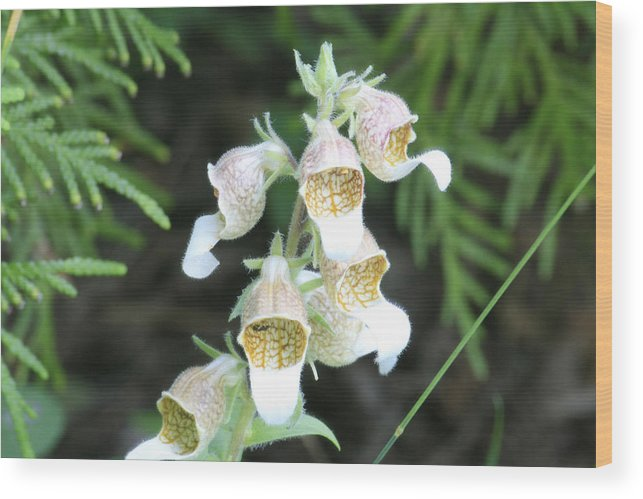 Wild Flowers Wood Print featuring the photograph Fox Glove by Alan Rutherford