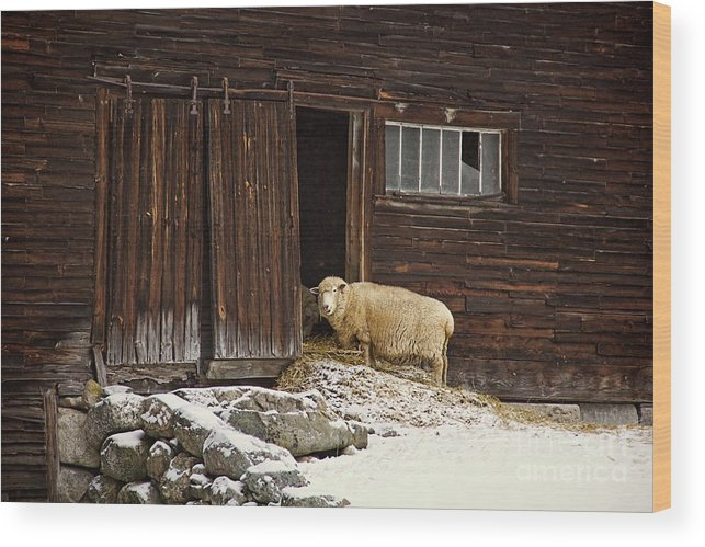 Sheep Wood Print featuring the photograph Good Morning by Diana Nault