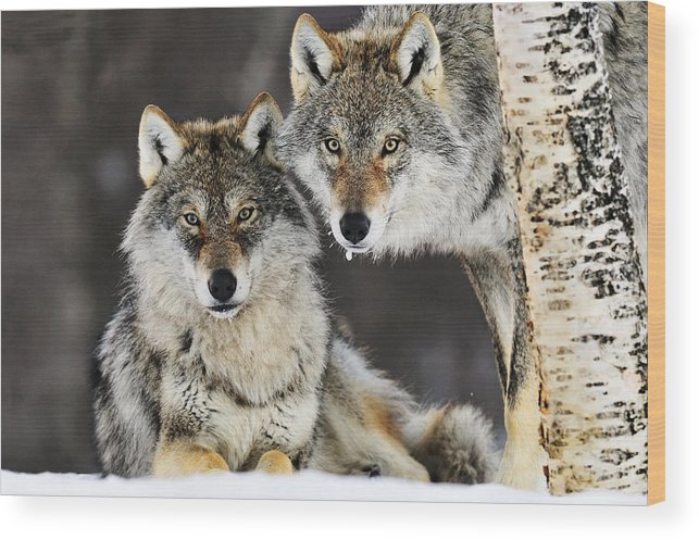 Mp Wood Print featuring the photograph Gray Wolf Pair In The Snow by Jasper Doest
