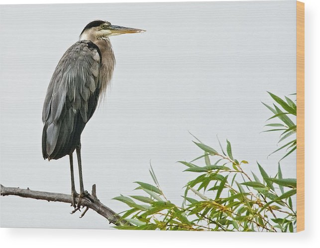 Nature Wood Print featuring the photograph Great Blue Heron in the Rain by Zayne Diamond Photographic