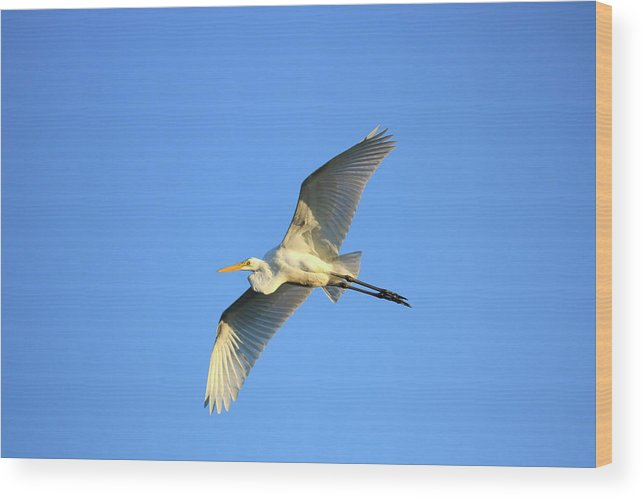 Wood Print featuring the photograph Great Heron In Flight II by Tony Umana