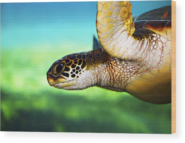 Green Wood Print featuring the photograph Green Sea Turtle by Marilyn Hunt