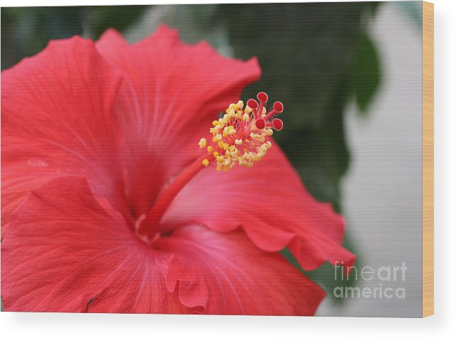 Red Flower Wood Print featuring the photograph Hibiscus by Steve Augustin