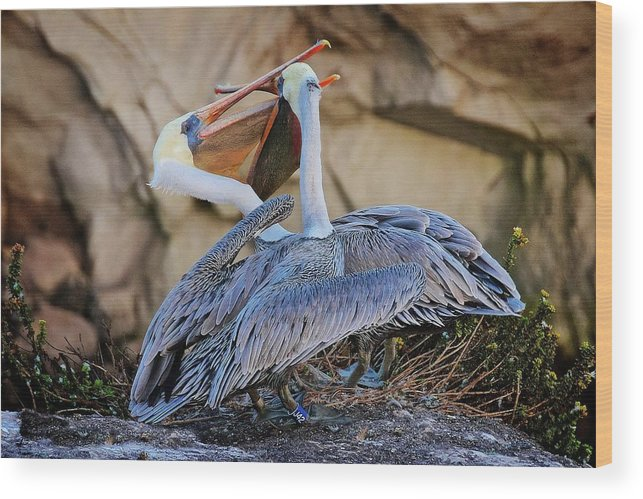 Nature Wood Print featuring the photograph How Pelicans Kiss, California Brown Pelicans by Zayne Diamond Photographic