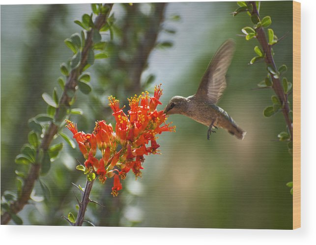 Hummingbird Wood Print featuring the photograph Hums With Its Mouth Full by Richard Henne