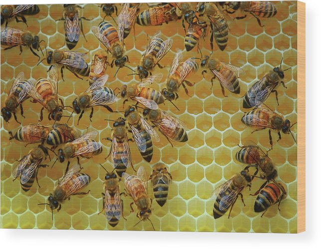 Bees Wood Print featuring the photograph Inside the Hive by Nikolyn McDonald