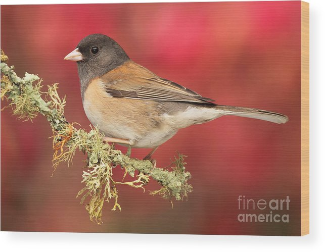 Bird Wood Print featuring the photograph Junco Against Peach Blossoms by Max Allen