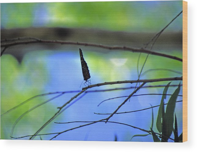 Butterfly Wood Print featuring the photograph Life on the Edge by Randy Oberg
