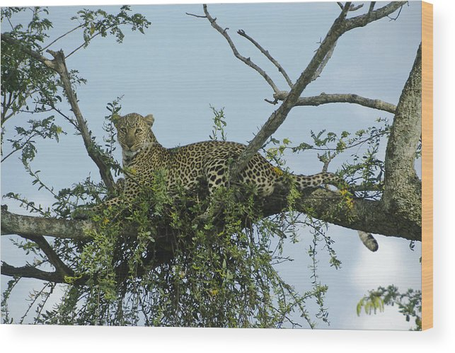 Africa Wood Print featuring the photograph Lounging Leopard by Michele Burgess
