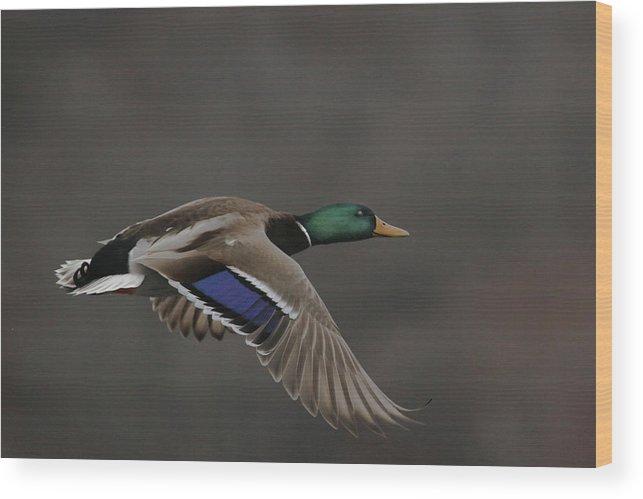 Mallard Wood Print featuring the photograph Mallard Duck in Flight Artsy2 by Nikki Vig