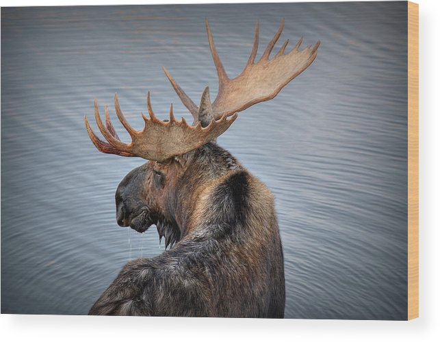 Moose Wood Print featuring the photograph Moose Drool by Ryan Smith