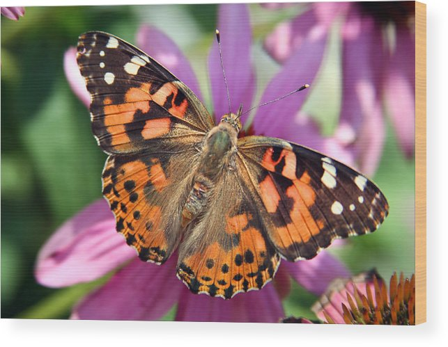 Painted Lady Wood Print featuring the photograph Painted Lady Butterfly by Margie Wildblood