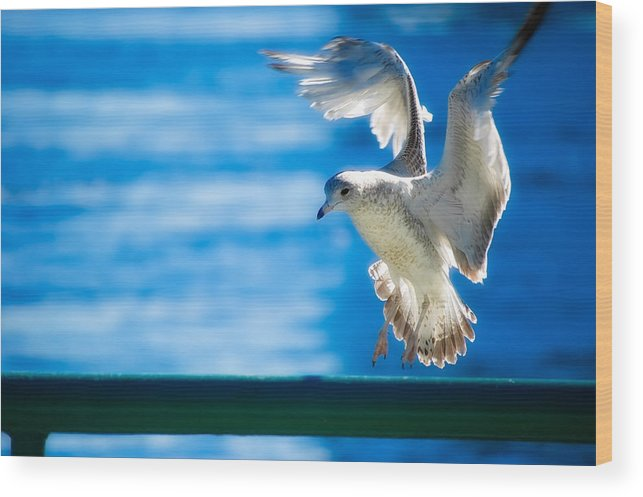 Animal Wood Print featuring the photograph Peace Gull by Rich Leighton