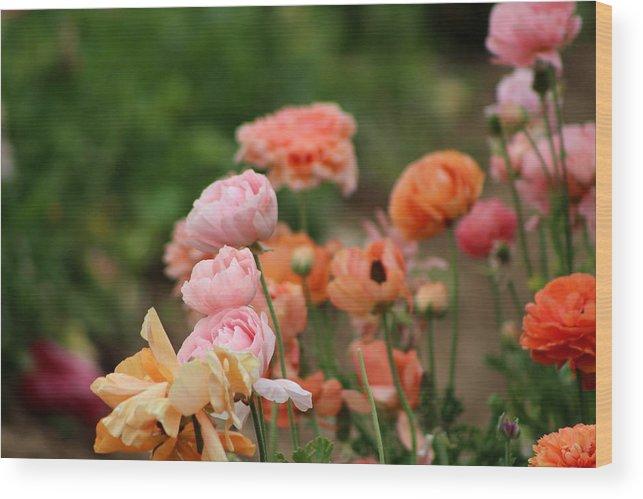 Powder Pink Ranunculus Wood Print featuring the photograph Powder Pink and Salmon Ranunculus by Colleen Cornelius