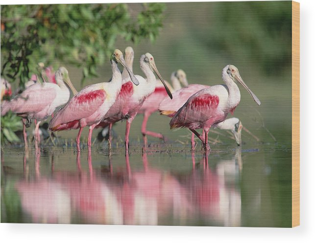 00171421 Wood Print featuring the photograph Roseate Spoonbill Flock Wading In Pond by Tim Fitzharris