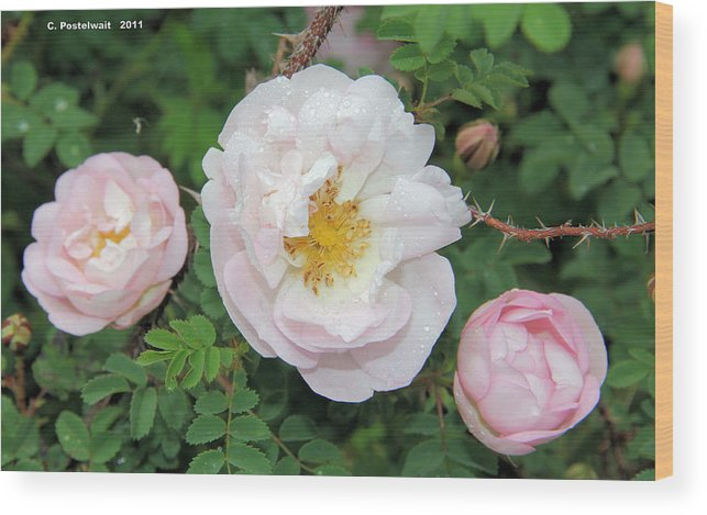 Roses Wood Print featuring the photograph Roses and Rain by Carolyn Postelwait