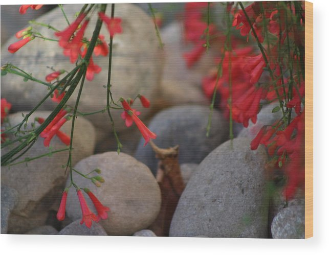 Scarlet Bugler Blossoms Wood Print featuring the photograph Scarlet Bugler Blossoms on Rocks by Colleen Cornelius