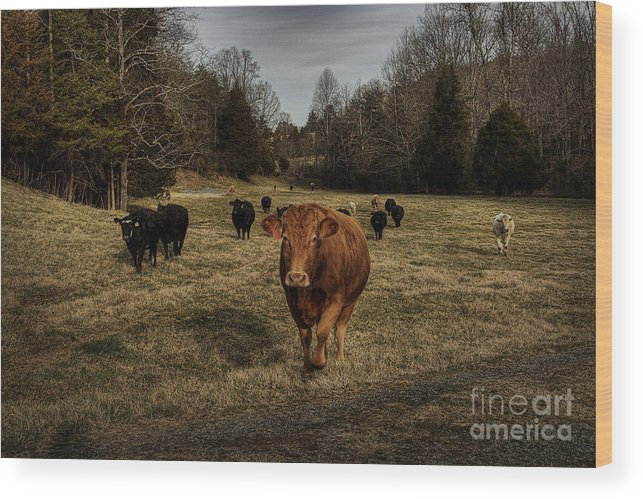 Scotopic Wood Print featuring the photograph Scotopic Vision 9 - Cows Come Home by Pete Hellmann