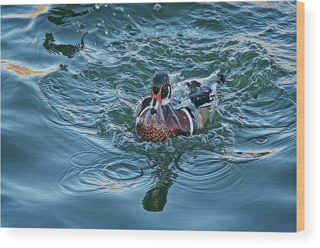 Nature Wood Print featuring the photograph Taking a Dip, Wood Duck by Zayne Diamond Photographic