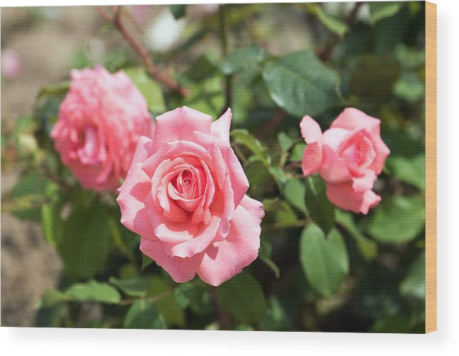 Abstract Wood Print featuring the photograph Three Pink Roses by Adrian Bud