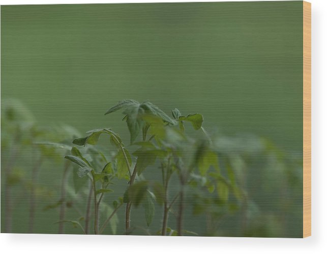 Agriculture Wood Print featuring the photograph Tomato seedlings in the morning by Adrian Bud