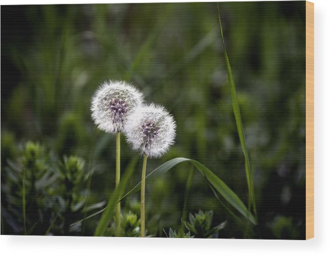 Abstract Wood Print featuring the photograph Twin Dandelions by Adrian Bud