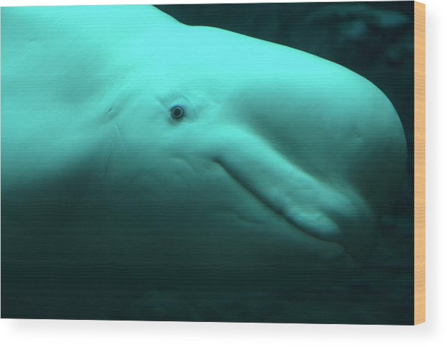 One Animal Wood Print featuring the photograph Beluga Whale by Lingbeek