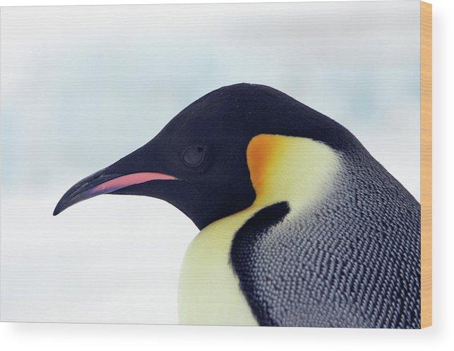 Emperor Penguin Wood Print featuring the photograph Emperor Penguin by Sylvain Cordier