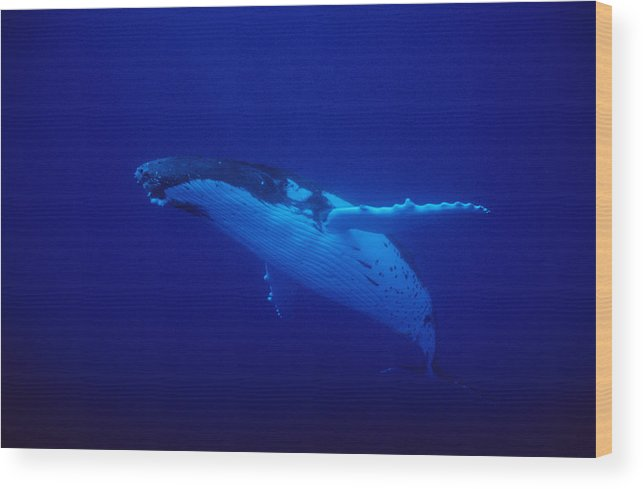 Underwater Wood Print featuring the photograph Humpback Whale, Megaptera Novaeangliae by Gerard Soury